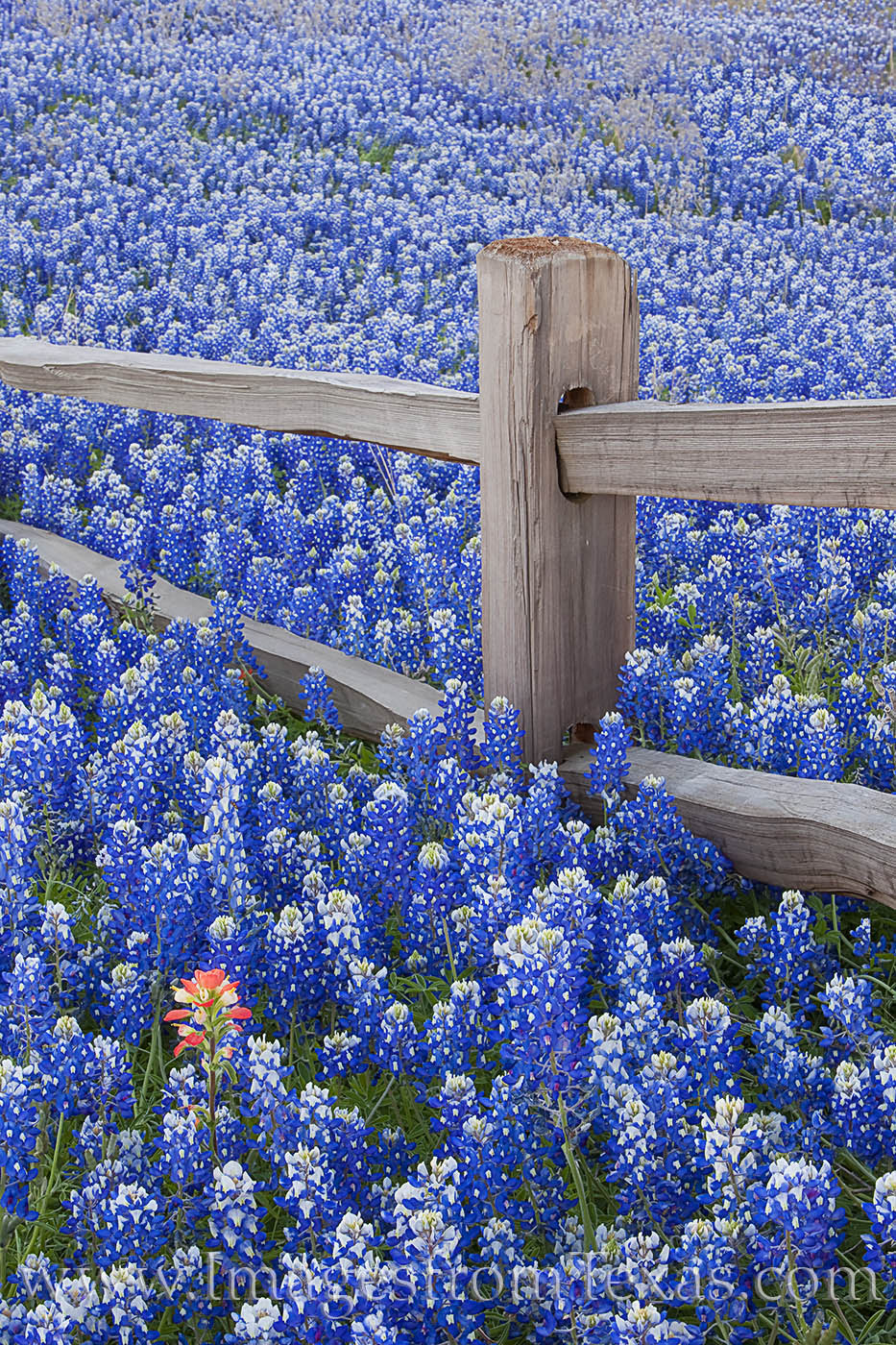 bluebonnets, paintbrush, fence, wooden fence, hill country, texas hill country, wildflowers, texas wildflowers, texas bluebonnets, blue flowers, photo