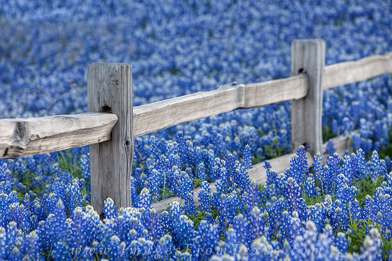 Along a wooden fencerow in the Texas Hill Country, I can often find bluebonnets growing in abundance. The year of 2010 was one...