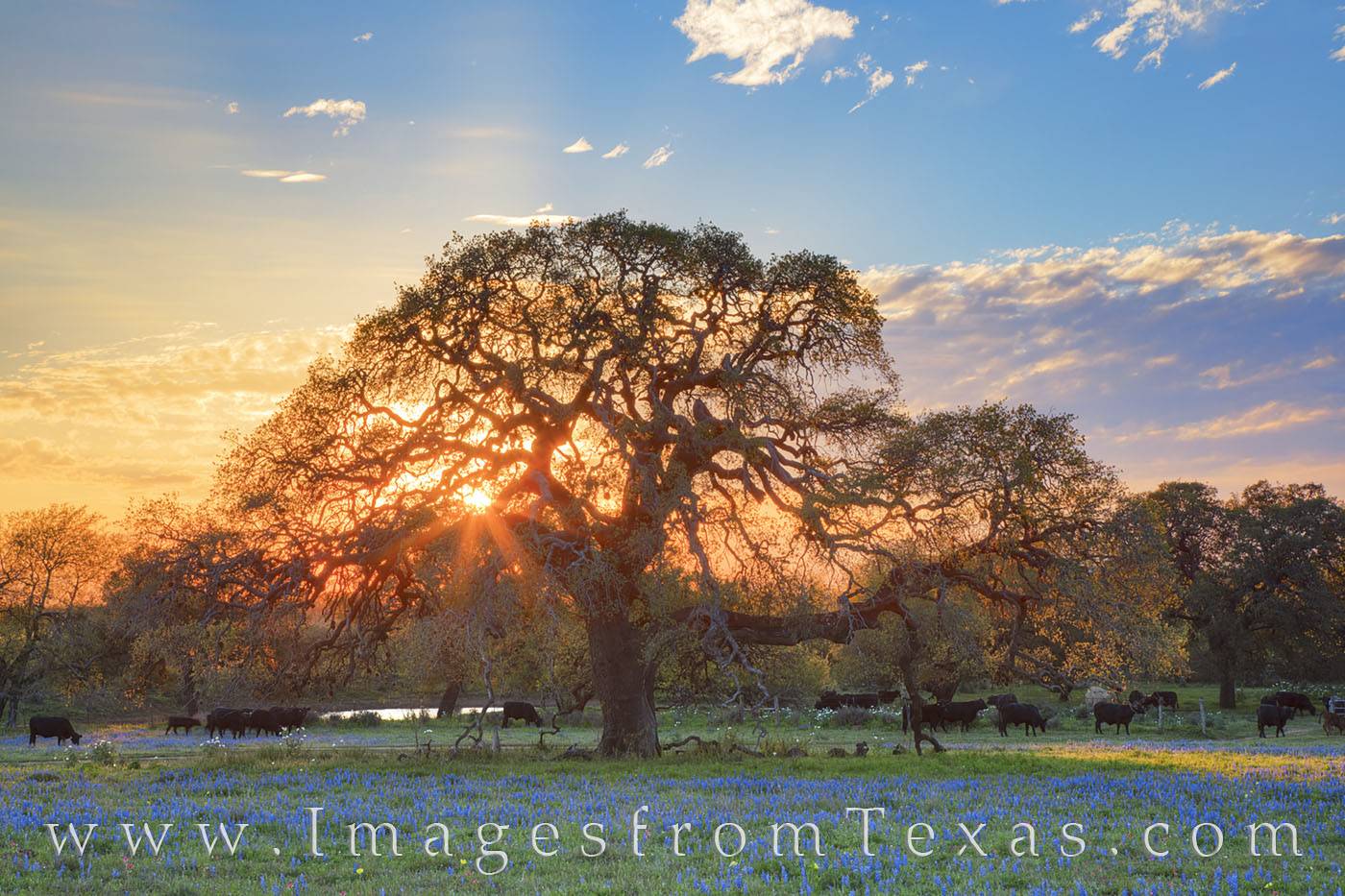 bluebonnets, oak tree, cattle, cows, sunset, south texas, poteet, evening, march, spring, wildflowers, photo