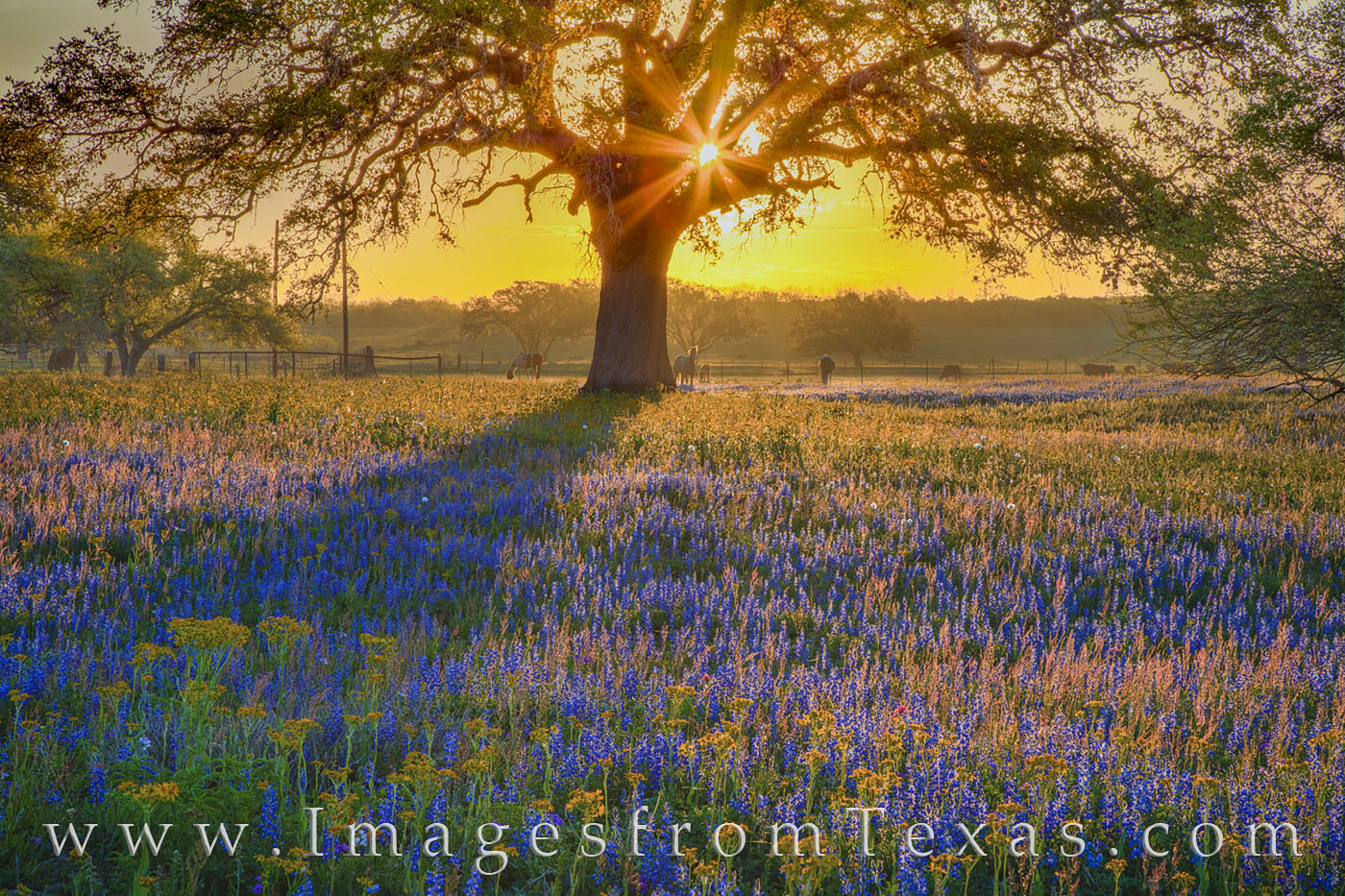 bluebonnets, oak tree, horses, sunlight, evening, poteet, atascosa county, san antonio, wildflowers, photo