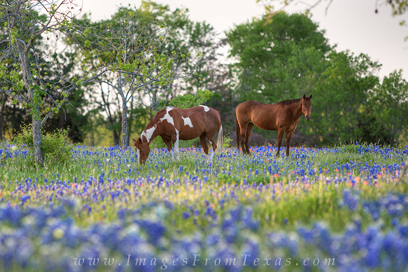 bluebonnets,horses in bluebonnets,bluebonnet images,texas wildflowers,wildflower prints,texas images, photo