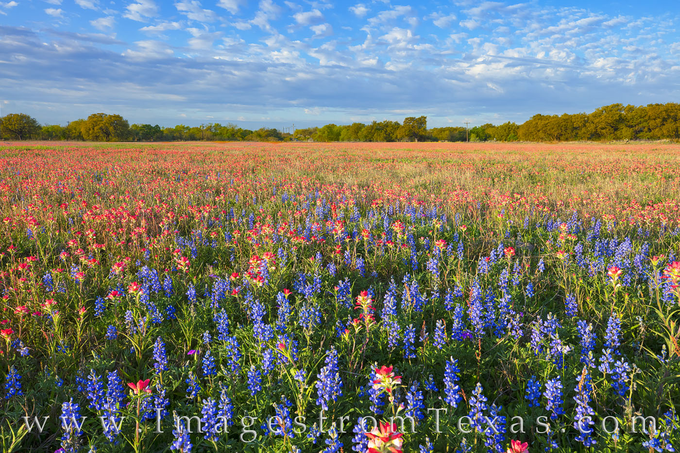 wildflowers, bluebonnets, indian paintbrush, texas flowers, bloom, superbloom, morning, poteet, atascosa county, south texas, photo