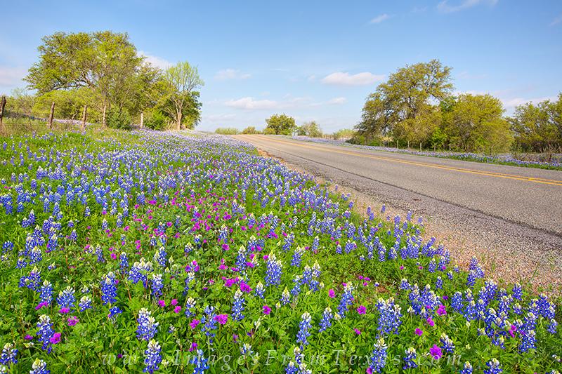 bluebonnet photos,texas hill country,phlox,texas wildflowers,texas wildflower photos,texas highways, photo