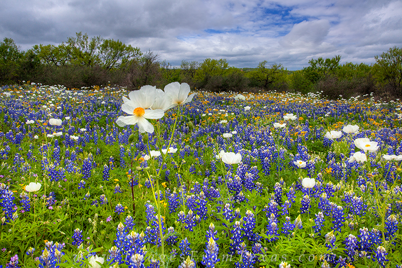 bluebonnet images,texas wildflower photos,texas wildflowers,texas hill country,white prickly poppies,texas landscapes, photo