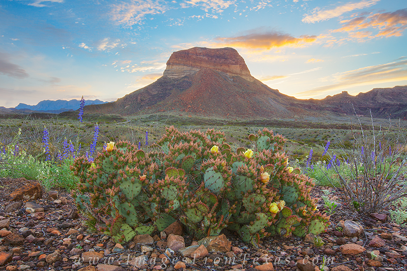 bluebonnets photos,prickly pear,big bend national park,sunrise,texas landscapes,big bend photos, photo