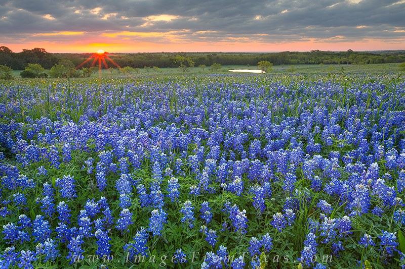 bluebonnet prints,texas wildflower prints,ennis texas,texas landscapes, photo