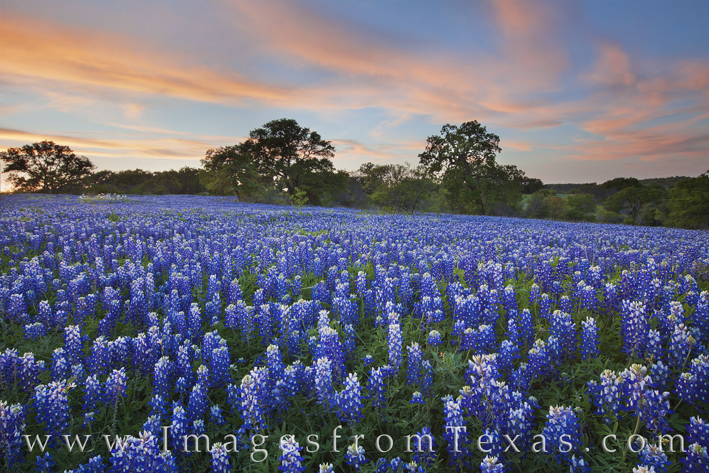 bluebonnets,bluebonnet images,texas wildflower images,wildflower,hill country,texas landscapes,wildflower prints,bluebonnet prints, photo