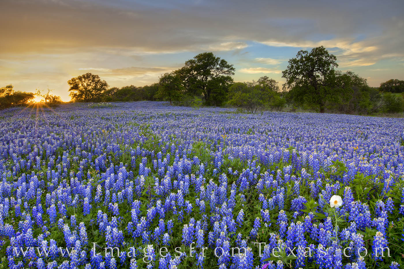 bluebonnets, san saba, hill country, wildflowers, country roads, sunset, photo