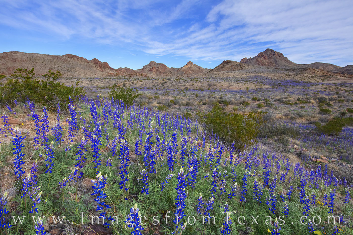 bluebonnets, big bend, national park, chisos mountains, desert, chihuahuan desert, west texas, spring, february, bloom, wildflowers, texas state flower, photo