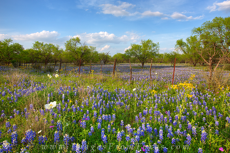 As the sun begins to fade in the west, long shadows slowly creep across the Texas Hill Country. Bluebonnets, phlox, and white...