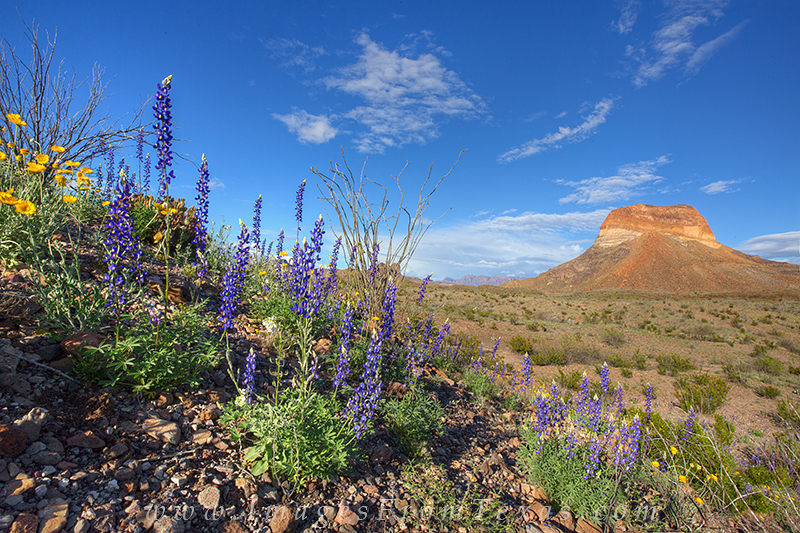 bluebonnets,big bend national park,big bend,texas wildflowers,bluebonnet prints,texas landscapes, photo