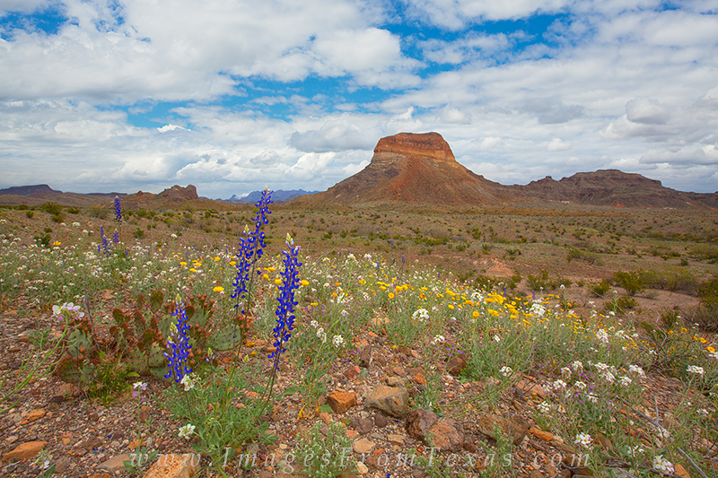 bluebonnets,bluebonnet prints,big bend wildflowers,big bend national park,texas wildflowers,texas landscapes, photo