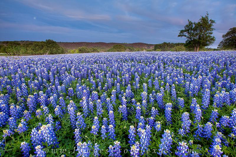 texas wildflower prints,bluebonnet prints, photo