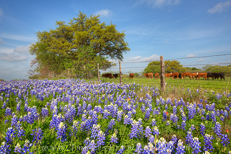 bluebonnet photos,texas wildflowers,cows,texas hill country, photo