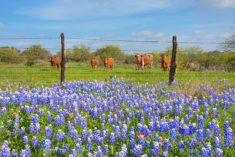bluebonnets,longhorns,texas wildflowers,bluebonnet photos,wildflower photos, photo