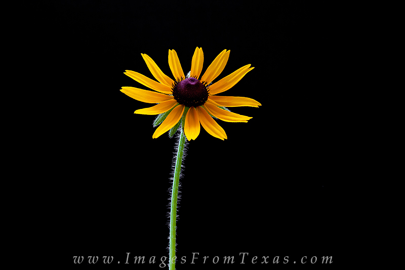 texas wildflowers,sunflowers,texas wildflower prints,texas hill country, photo