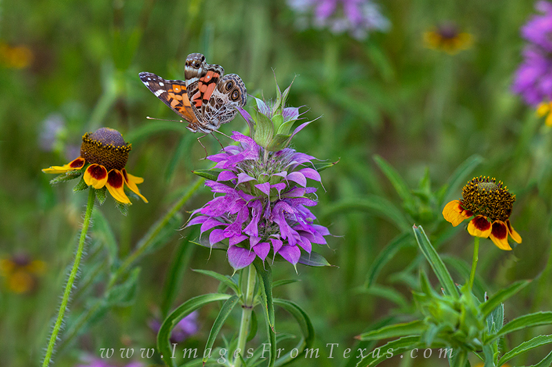 texas wildflower pictures,purple horsemint,wildflowers and butterflies,butterfly images, photo