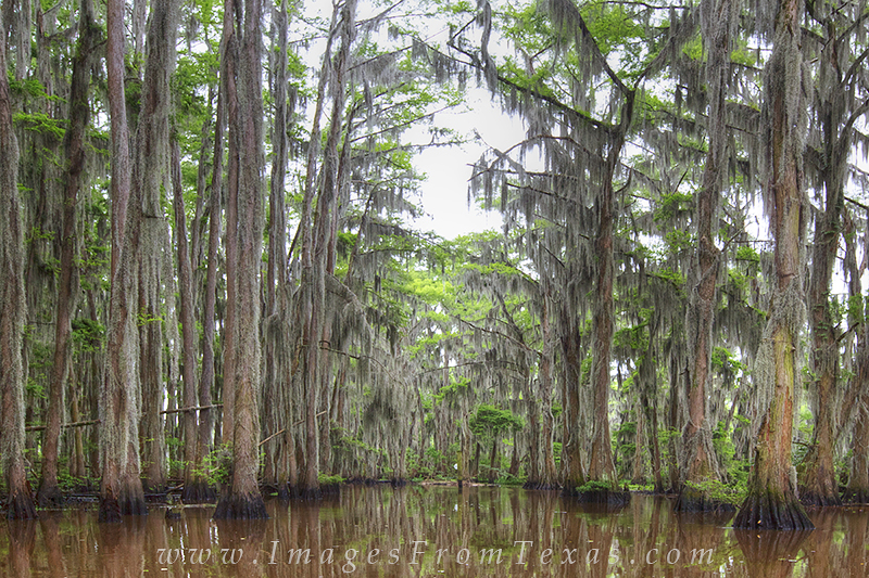 On a stretch of bayou on Caddo Lake, cypress trees rise high and arch over the murky water below. This area of east Texas wonder...