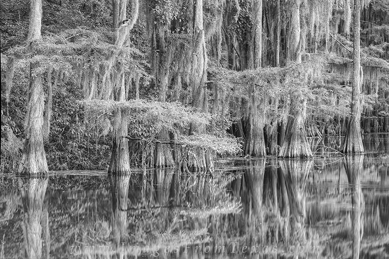 Cypress trees draped in spanish moss rest along the shores of Caddo Lake. This image, taken at Caddo Lake State Park, captures...