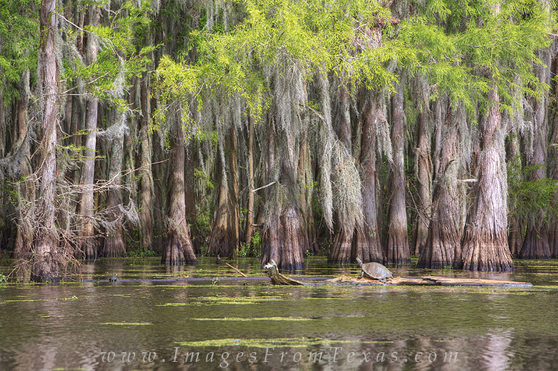 caddo lake photos,caddo lake turtle,caddo lake state park,east texas images,turtle, photo