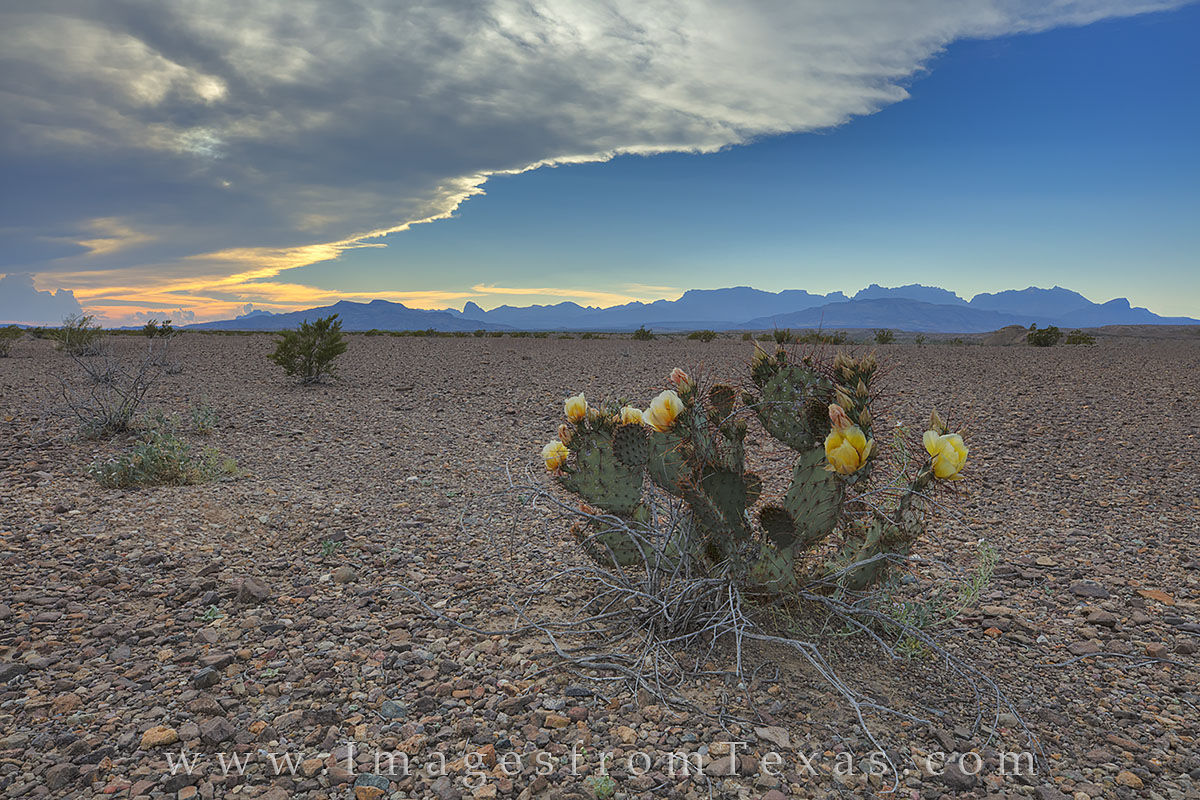 A prickly pear cactus in bloom stands in stark contrast to a barren landscape on the eastern slope of the Chisos Mountains. Big...