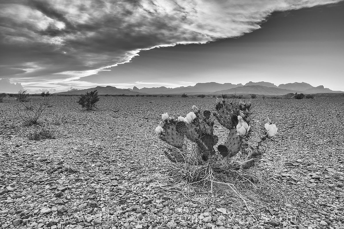 black and white, big bend national park, desert, chihuahuan desert, chisos mountains, prickly pear, sunset, photo