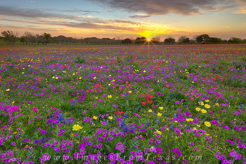 texas wildflower photos,texas wildflowers,bluebonnet images,wildflowers,texas in spring,texas landscapes, photo