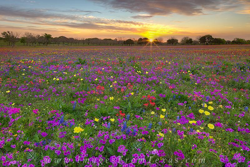texas wildflower photos,texas wildflowers,bluebonnet images,wildflowers,texas in spring,texas landscapes, photo