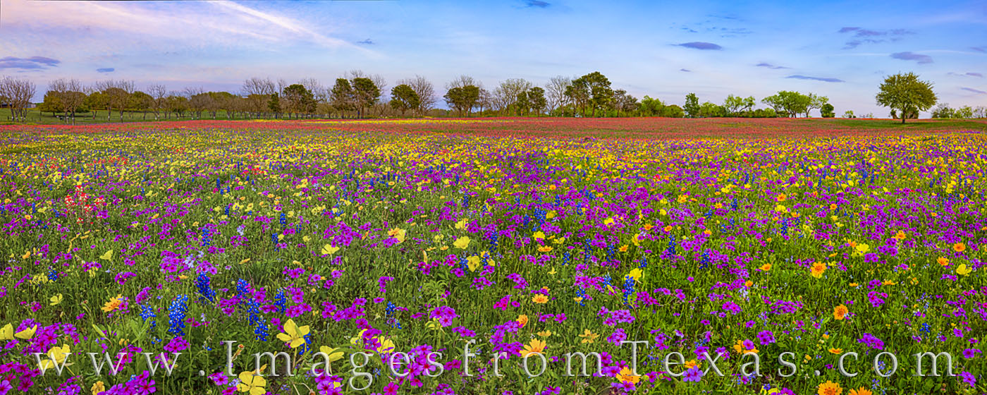 Wildflower panorama, wildflowers, flowers, paintbrush, bluebonnets, groundsel, coreopsis, phlox, new berlin, san Antonio, rural, red, blue, purple, yellow, gold, pano, quiet, country road, photo