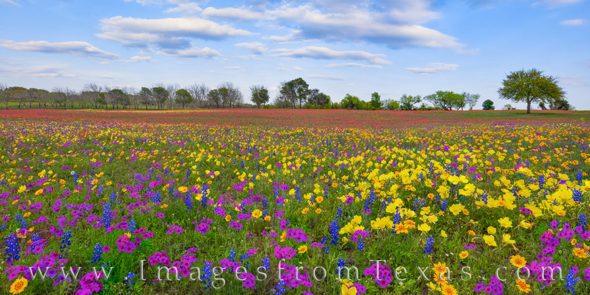 A pasture of purple, blue, gold, green and red stretches to the treeline in this panorama from New Berlin, Texas. The late afternoon...