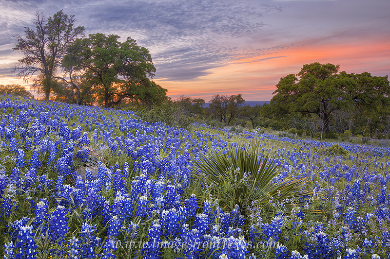 bluebonnets,texas hill country,texas wildflowers,texas landscape,texas sunset,springtime in texas,wildflowers