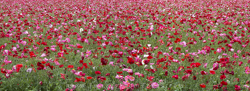 texas wildflowers,wildflowers pano,corn poppies,poppy images,wildflower prints, photo