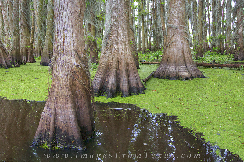 Cypress trunks and green algae combine to make this image of the swamplands of Caddo Lake. Even a large wolf spider is in this...