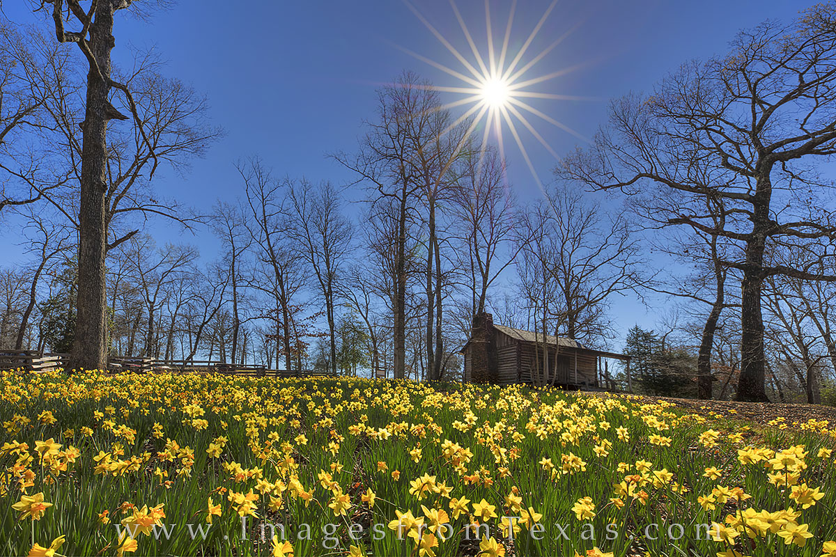 Daffodils bloom by an old cabin at a daffodil garden near Gladewater, Texas. These golden wildflowers bloom each February, only...