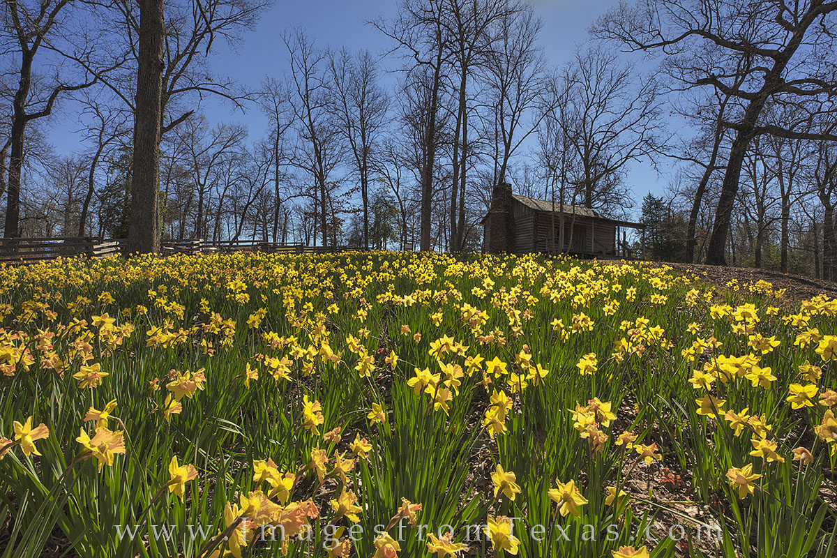 daffodils, daffodil images, texas wildflowers, texas flowers, wildflowers, east texas, gladewater, kilgore, tyler, spring flowers, winter flowers, texas, photo