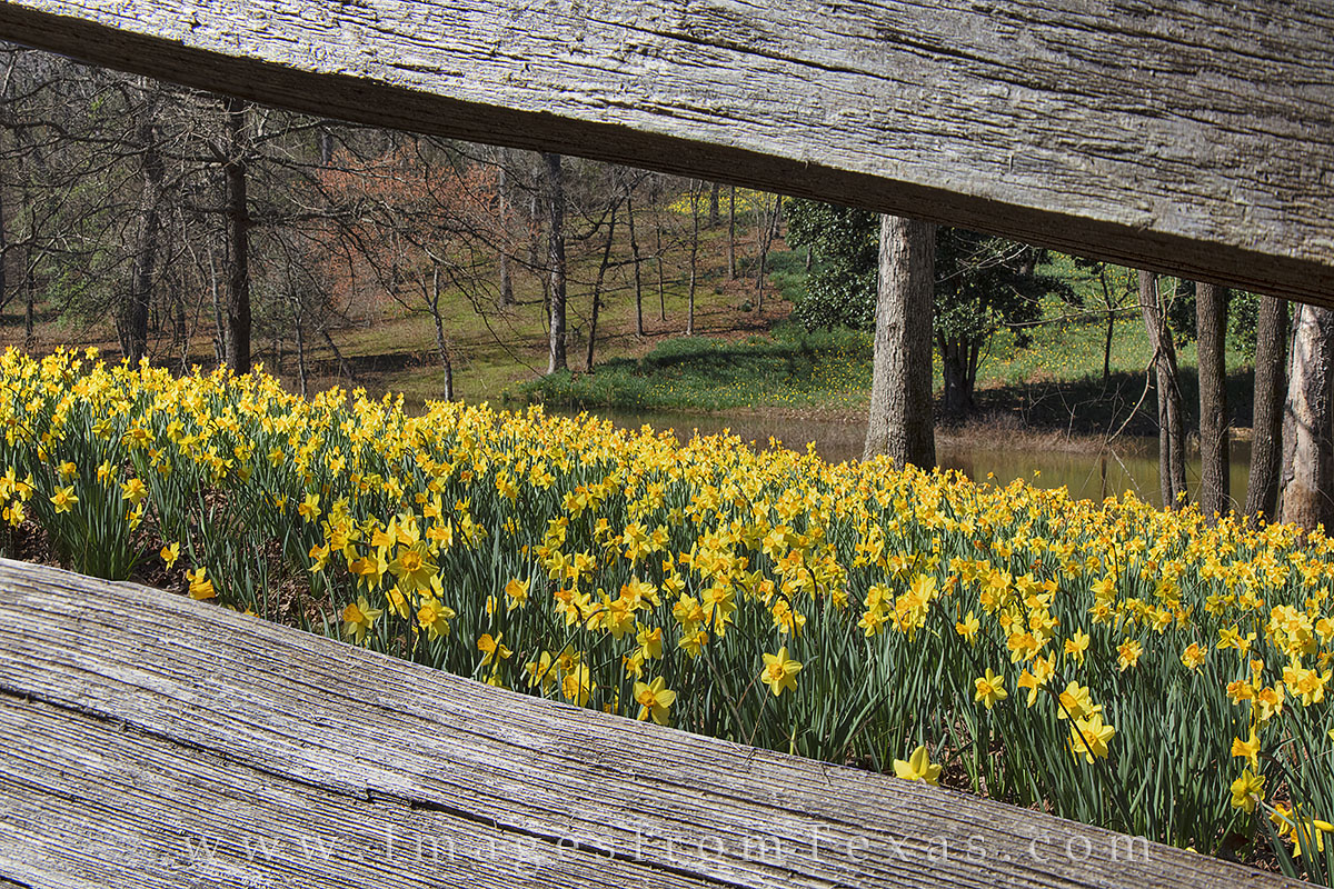 daffodils, texas wildflowers, daffodil images, texas flowers, east texas, tyler, gladewater, kilgore, daffodil, february wildflowers, photo