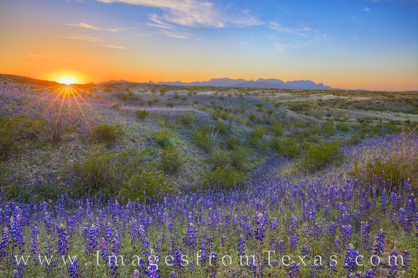 bluebonnets, east river road, big bend national park, big bend, sunset, wildflowers, chihuahuan desert, photo