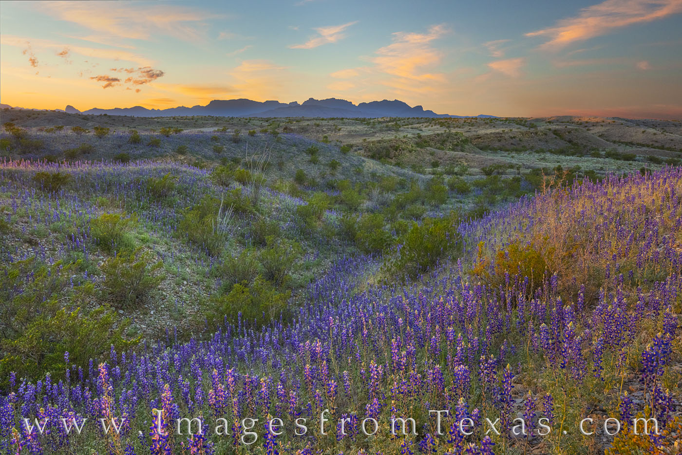 bluebonnets, east river road, rio grande, big bend, national park, texas parks, desert, chihuahuan desert, chisos mountains, dirt road, spring bloom, photo