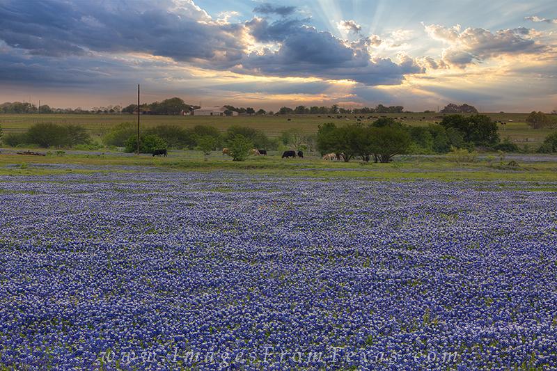 bluebonnets,bluebonnet images,wildflower photos,bluebonnets at sunset,texas landscapes, photo