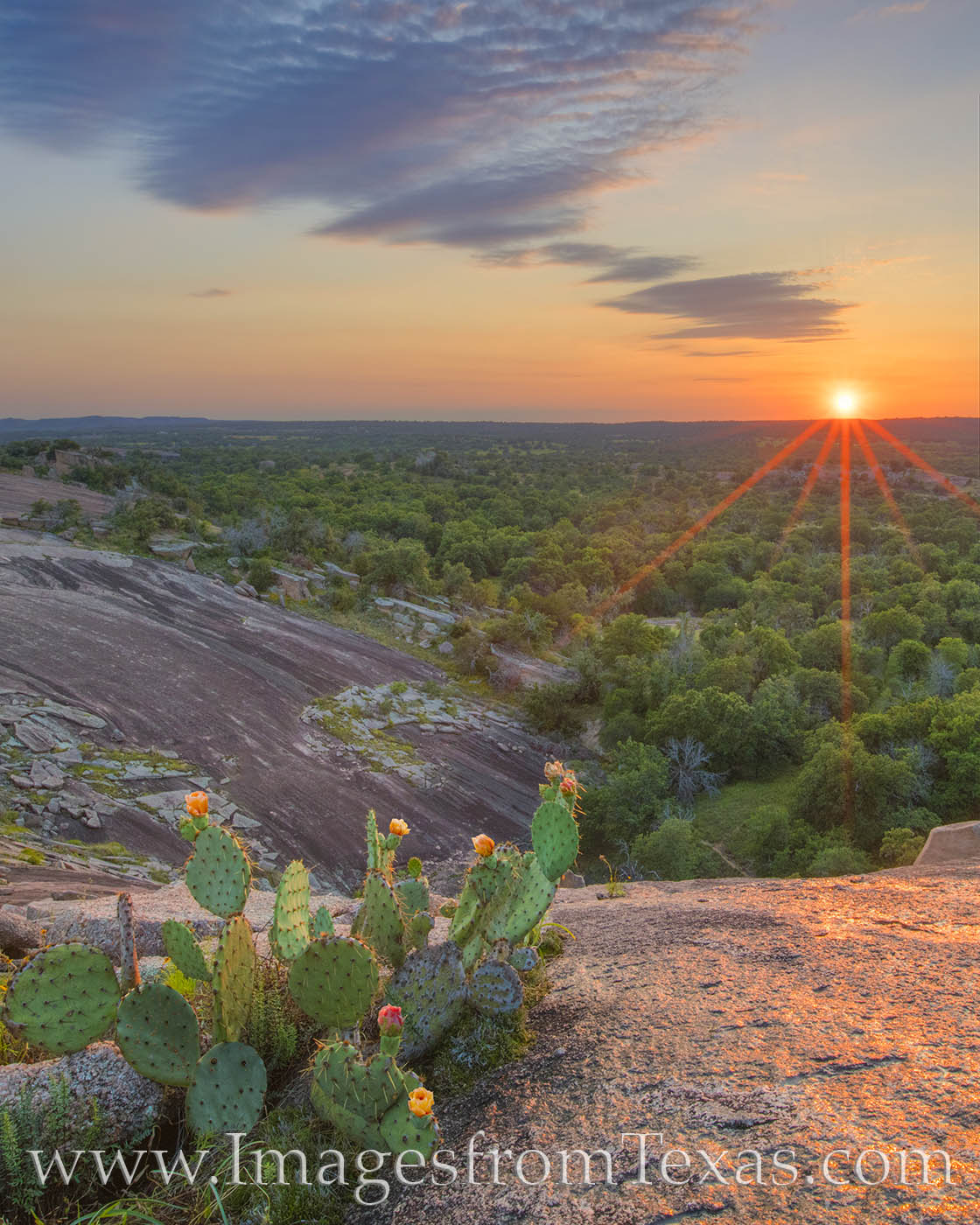 From the granite cliffs of Little Rock, a small peak just southwest of Enchanted Rock, prickly pear cactus blooms show off their...