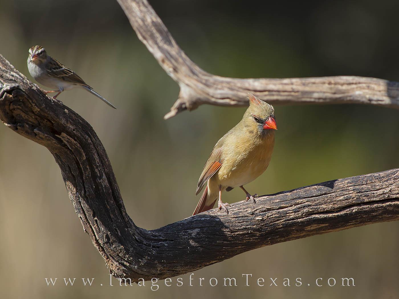 cardinal, female cardinal, texas birds, birds, texas hill country, spring, summer, yellow, gold, photo