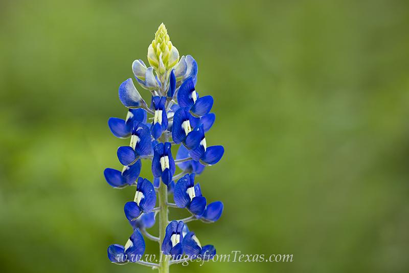 bluebonnets,bluebonnet images,bluebonnet photos,texas bluebonnets,texas wildflowers, photo