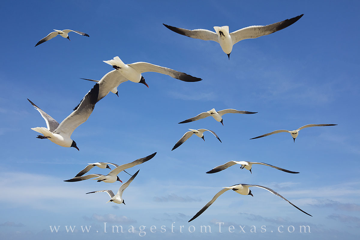port aransas, seagulls, texas beaches, texas birds, texas coastal birds, port a prints, port aransas photos, photo