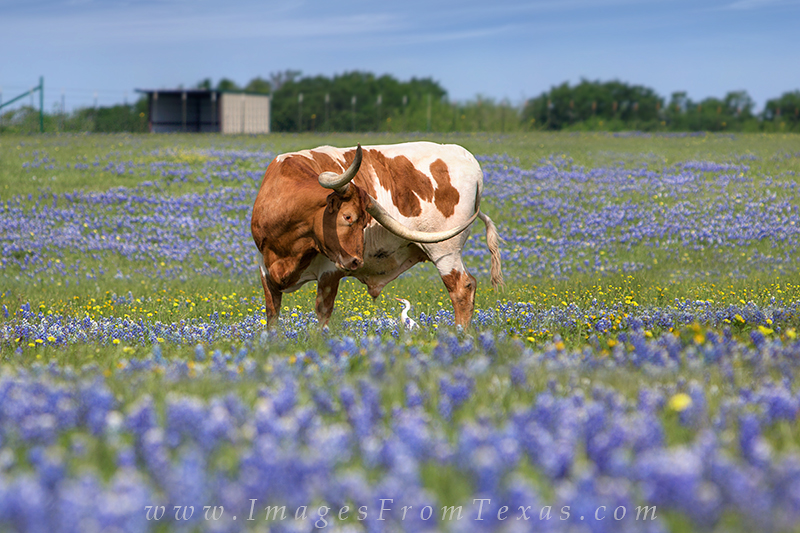 bluebonnet photos,longhorn images,texas hill country,texas wildflowers,texas wildflower images, photo