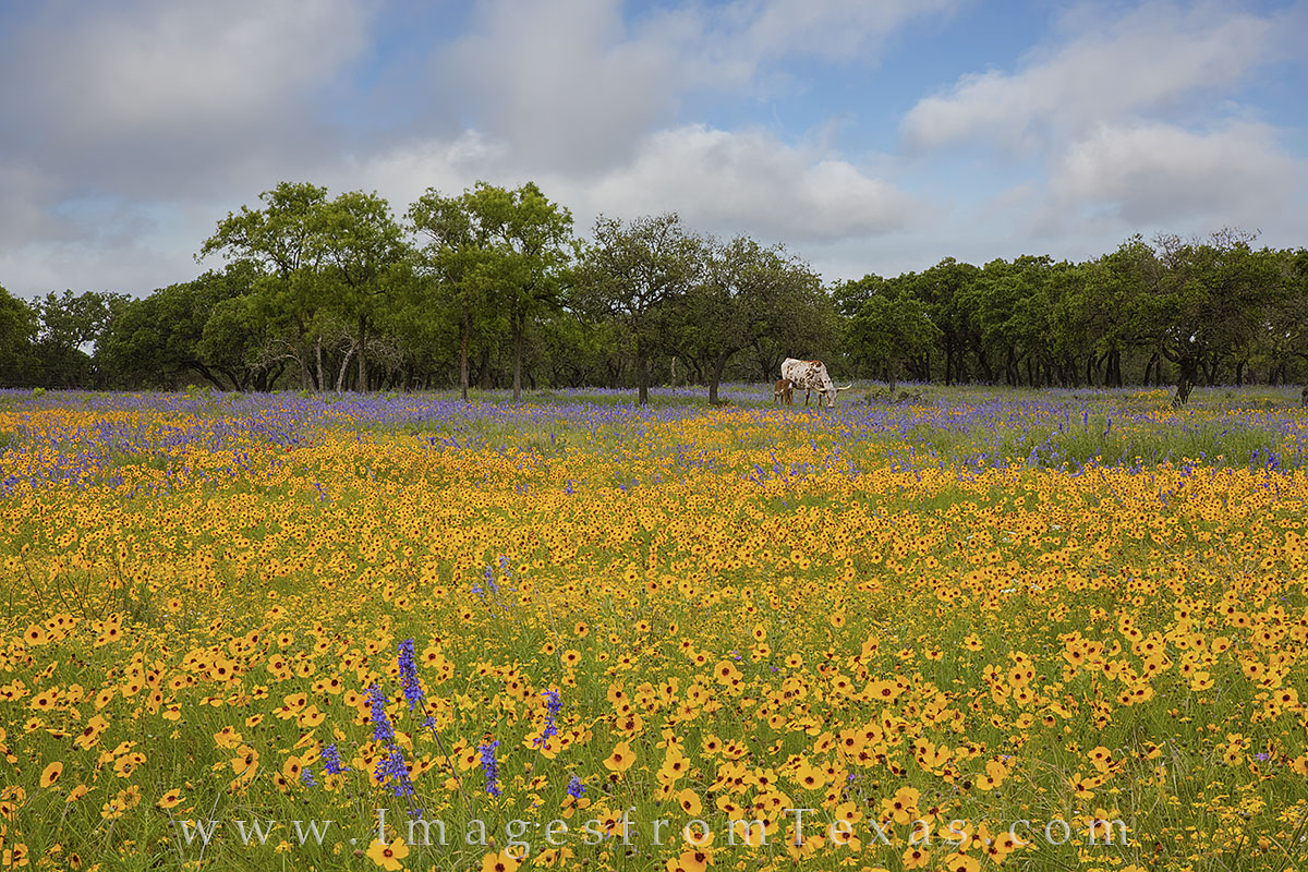 texas wildflower, longhorn images, wildflower photos, gillispie county, spring wildflowers, texas in spring, longhorns, photo