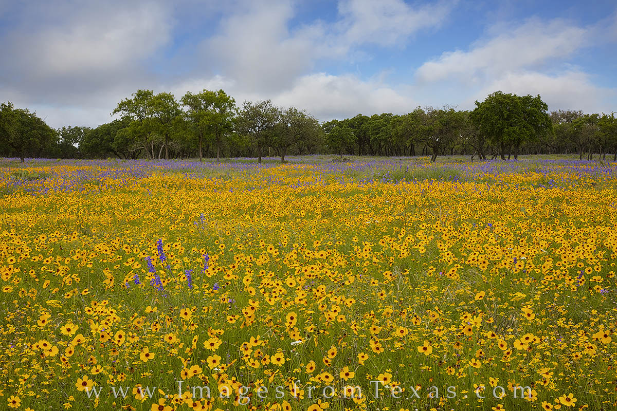texas wildflowers, wildflower photos, gillispie county, spring wildflowers, texas in spring, texas wildflower photos, photo