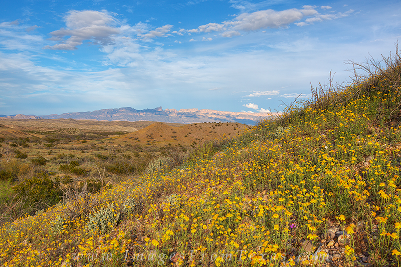 texas wildflowers,big bend national park,texas landscapes,wildflower photos,big bend photos, photo