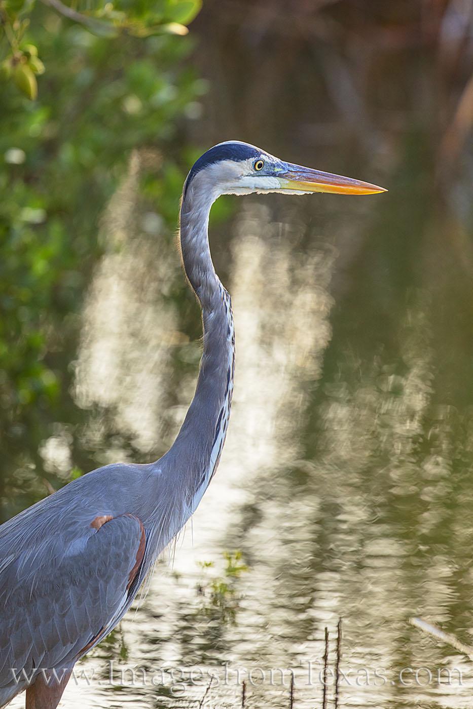 blue heron, heron, south padre, bird, south padre island, birds, texas coast, south texas, photo