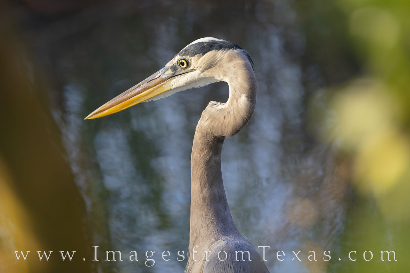 blue heron, heron, south padre, bird, south padre island, birds, texas coast, south texas, photo