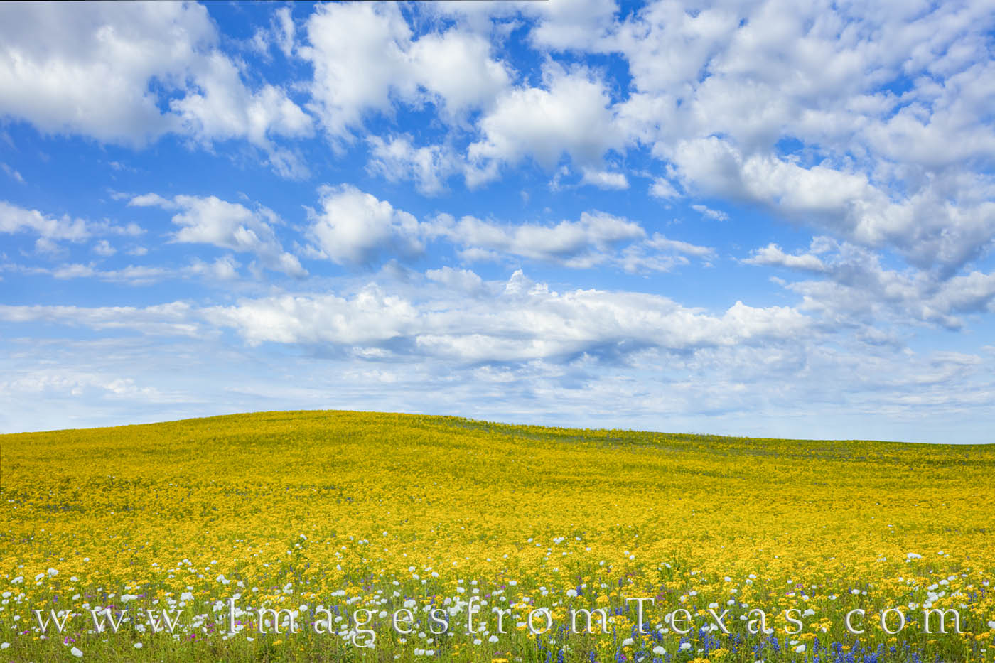 Golden groundsel blooms fill the landscape on a quiet road south of San Antonio near Poteet, Texas.